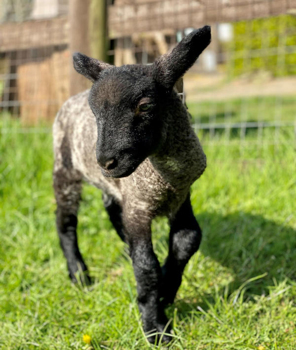 Meet our new lambs